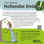 Hollandse Linde
