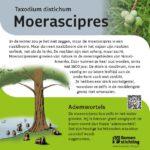 Moerascipres