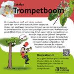 Trompetboom