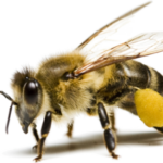 honingbij-vrij-1